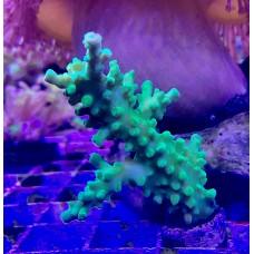Acropora sp. Акропора зеленая