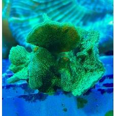 Pavona cactus green Павона кактус зеленый